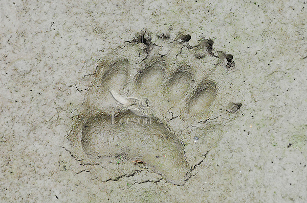 Black Bear  (Ursus americanus) track--front foot--in mud along pond edge.  Western U.S., summer.