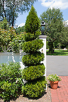 Twisted shaped spiral evergreen tree NEED ID for shape in the garden, with brick patio, home landscaping wall fence, blue sky and clouds, container plants
