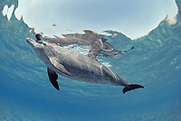 Wild Bottlenose Dolphin, Tursiops truncatus, playing with Sea Cucumber, Holothuria edulis, Nuweiba, Egypt, Red Sea., Northern Africa