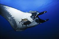Manta Ray (Manta birostris) accompanied by  hitchhiking remoras, uderwater at San Benidicto Island, in the Revillagigedos Islands, off Baja, Mexico.