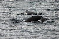 A pair of Killer Whales, (Orca) off the point of Ardnamurchan, Sea of the Hebrides, Scotland.