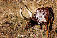 A longhorn with an impressive pair of long horns, spotted along the road less travelled, a backroad.