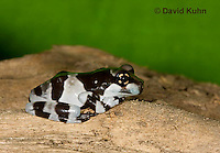 0305-0902  Froglet, Amazon Milk Frog (Marbled Tree Frog), Trachycephalus resinifictrix (formerly: Phrynohyas resinifictrix)  © David Kuhn/Dwight Kuhn Photography