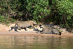Male and female (a courting / mating pair) of jaguars (Panthera onca) on a sand bank. Cuiaba River, Northern Pantanal, Mato Grosso, Brazil.