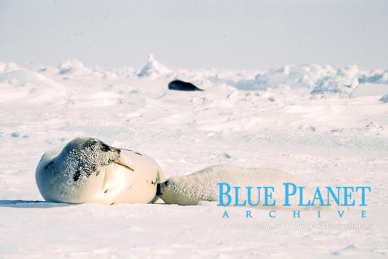 harp seals, Pagophilus groenlandicus (formerly Phoca groenlandica), female nursing pup, Gulf of St. Lawrence, Canada, Atlantic