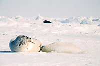 harp seals, Pagophilus groenlandicus (formerly Phoca groenlandica), female nursing pup, Gulf of St. Lawrence, Canada, Atlantic