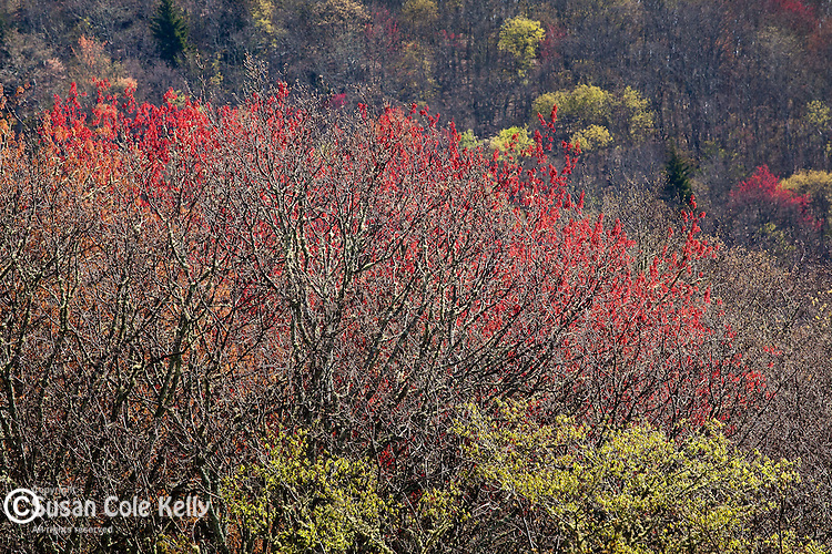 Spring maple bloom at Yellow Face, Blue Ridge Parkway, NC, USA