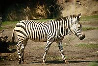 Hartmans Mountain zebra walking - Kenya Africa