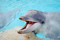 Bottlenose dolphin , Tursiops truncatus, USA, California, San Diego
