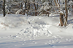 Moose Tracks around an Otter Home in Freshly Fallen Snow along the River