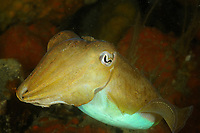 Common cuttlefish, Sepia officinalis, Bay of Morlaix, off Carantec, North of Brittany, North of France, Atlantic Ocean, Europe