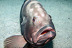 Red grouper sitting on sand habitat looking at camera