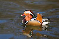 Mandarinente, Mandarin-Ente, Mandarinenente, Mandarinen-Ente, Männchen, Erpel, Aix galericulata, Dendronessa galericulata, mandarin duck, mandarin, male