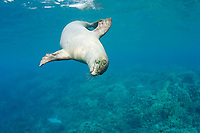 Hawaiian monk seal, Neomonachus schauinslandi, 2.5 year old male, Critically Endangered endemic species, Kealekekua Bay, Kona, Hawaii Island ( the Big Island ) Hawaiian Islands ( Central Pacific Ocean )