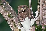 Pygmy owl perches on a snowy tree branch, Washington.