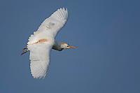 Cattle Egret in flight, Taylor, Texas