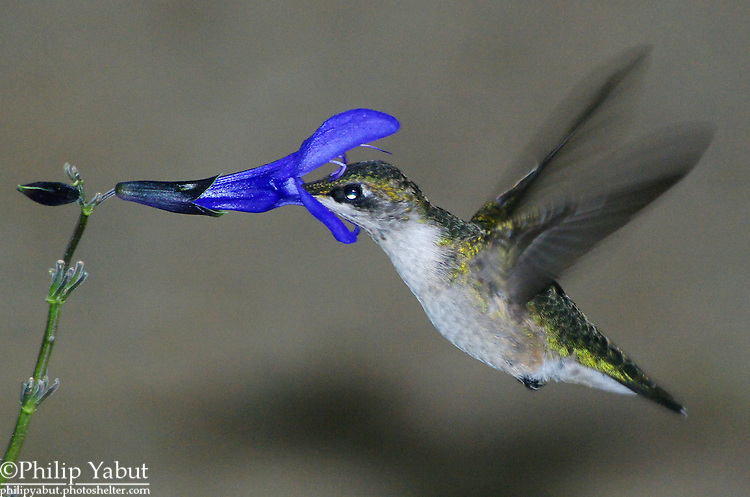 A hummingbird's tiny feathers give a colorful glossy shine when the light is just right.<br /> <br /> Ruby-throated hummingbird (Archilochus colubris)