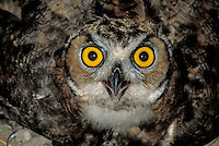 Great Horned Owl (Bubo virginianus), immature, close up (in captivity)
