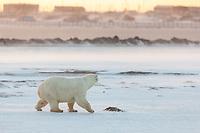 Polar bear walks across the snow on the outskirts of the Inupiat village of Kaktovik, on Barter Island, Alaska.