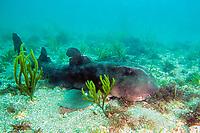 Japanese horn shark, Heterodontus japonicus, Futo, Sagami bay, Izu peninsula, Shizuoka, Japan, Pacific Ocean