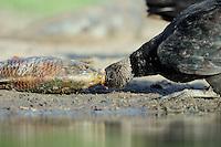 Black Vulture (Coragyps atratus), adult eating on fish , Dinero, Lake Corpus Christi, South Texas, USA