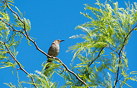 Curve-billed Thrasher, Toxostoma curvirostre, perches in a mesquite tree in the Desert Botanical Garden, Phoenix, Arizona