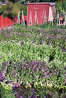Kinds of basil herb Ocimum different varieties mixed in vegetable garden