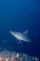 scalloped hammerhead shark, Sphyrna lewini, trailing fishing leader, scarred from fishing line, Cocos Island, Costa Rica, Pacific Ocean