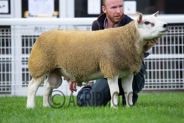 N.S.A Wales & Border Ram Sales, Royal Welsh Showground<br /> Lot 3622 owned by  D & S MacPherson sold for 2000gns<br /> ©Tim Scrivener Photographer 07850 303986<br />      ....Covering Agriculture In The UK....