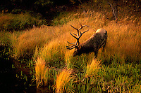 Jasper National Park, Canadian Rockies, AB, Alberta, Canada - Bull Elk aka Wapiti (Cervus canadensis), grazing and drinking at Watering Hole at Sunset - North American Wildlife