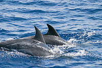 bottlenose dolphins, Tursiops truncatus, note scratches on side, Azores Islands, Portugal, North Atlantic