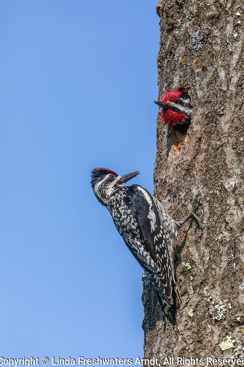 Yellow-bellied sapsucker parents at the cavity nest in northern Wisconsin.