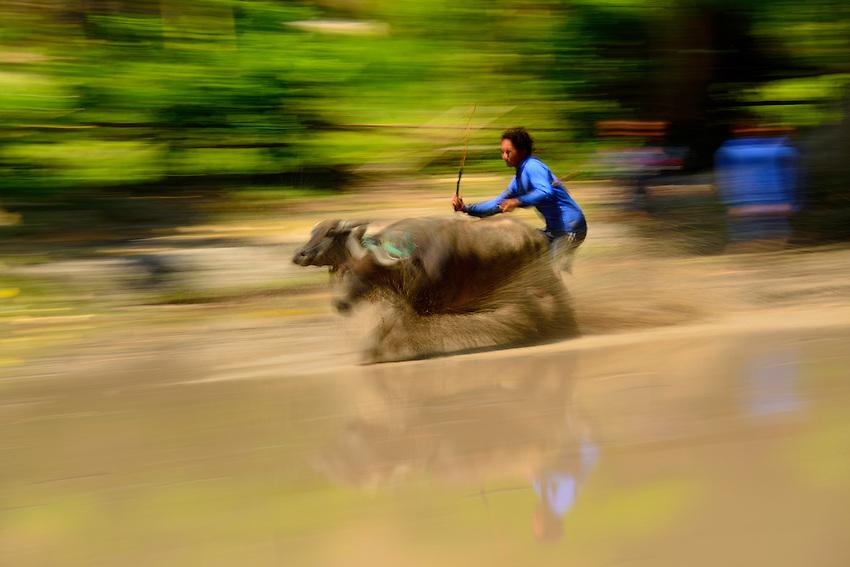 Sumbawa Island.  Water buffulo racing