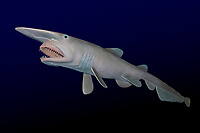 goblin shark, Mitsukurina owstoni, model