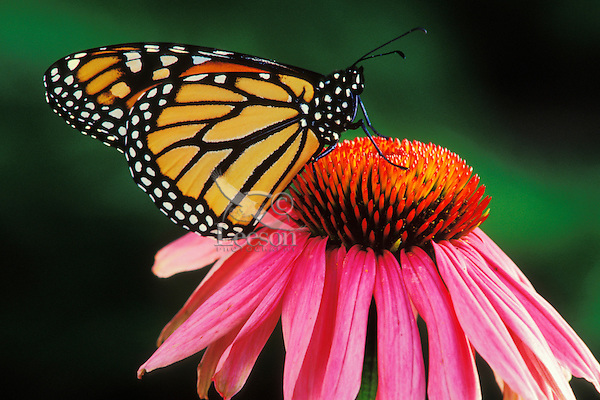 Monarch butterfly (Danaus plexippus) nectaring or resting on a purple coneflower.