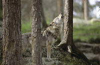 Wolf, heulend, heult, Canis lupus, gray wolf