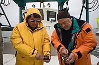 Europe/France/Bretagne/29/Finistère/Riec-sur-Belon: Huitres Cadoret - Jacques Cadoret et son fils  Jean-Jacques ostréiculteurs ouvrent des huître sur un chaland ostréicole
