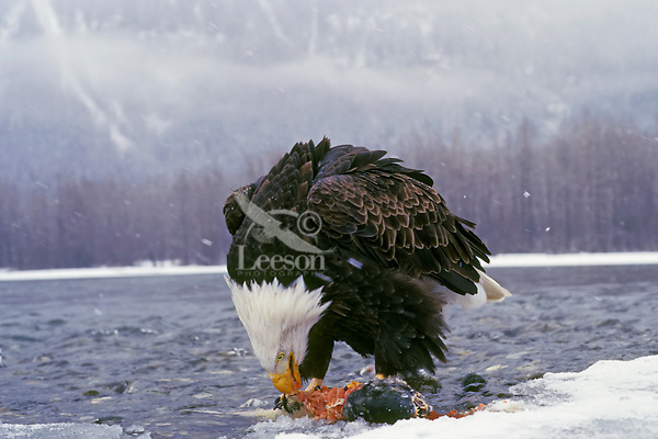 Bald Eagle ((Haliaeetus leucocephalus) feeding on samon.  Photo taken with a slightly wide angle lens from a remote controlled camera.  Pacific Northwest.