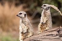 Meerkat (Suricata suricatta), Tenikwa Wildlife Rehabilitation Centre, Plettenberg Bay, South Africa.