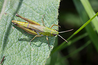 Gemeiner Grashüpfer, Weibchen, Pseudochorthippus parallelus, Chorthippus parallelus, Chorthippus longicornis, common meadow grasshopper, meadow grasshopper, female, le criquet des pâtures