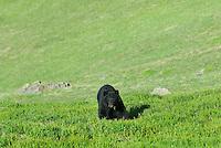 Black Bear (Ursus americanus) in subalpine meadow.  Western U.S., summer.