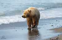 "Three to four-year-old Coastal Brown Bear (Ursus arctos) cub, nicknamed ""Blondie"" by the lodge staff, takes a stroll along the shore of The Cook Inlet, Alaska."