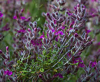 Teucrium marum cat thyme in Univerisity of California Berkeley Botanical Garden
