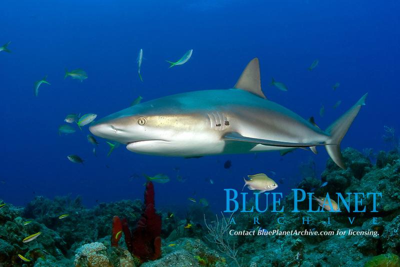 A curious Caribbean reef shark, Carcharhinus perezii, up close and personal. Edge of Gulfstream, Little Bahama Bank, Bahamas, Atlantic Ocean