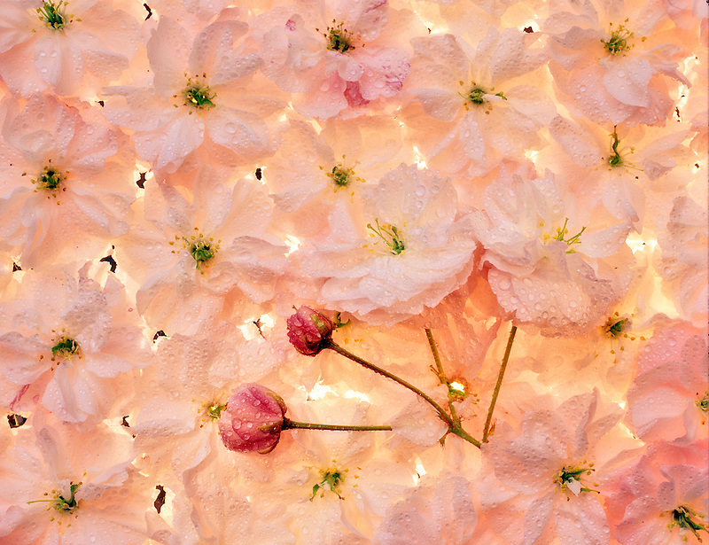 Dew on backlit flowering cherry blossoms. Oregon.