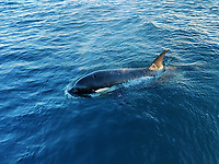 BNPS.co.uk (01202 558833)<br /> Pic: AlanBruce/BNPS<br /> <br /> Video download link: https://we.tl/t-ZBhixDUFTt.<br /> <br /> Pictured: The killer whale in the water around Alan Bruce's boat.<br /> <br /> A British sailor described his terrifying ordeal with a pack of killer whales which tried to topple his boat near the coast of Spain.<br /> <br /> Alan Bruce, 63, was sailing a Jeanneau 479 boat from Gibraltar to Cape St. Vincent, Portugal, when a large black shadow slipped beneath it.<br /> <br /> Suddenly he felt a violent thud and looked back to see a gigantic orca turning to follow him.