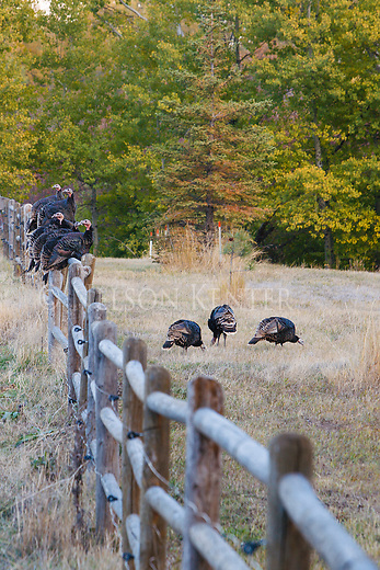 A flock of wild turkeys roosting on a wood fence