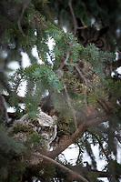 Great Horned Owl chicks, Southcentral Alaska.