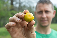 Smith holds a ripe calamansi Sunday May 2, 2021. The fruit is known as the Philippine lime, or Philippine lemon. It's widely used in Southeast Asia to make juice and jams and among other things it is rich in vitamin C. For more information about the farm see www.billsberryfarmnwa.com Visit nwaonline.com/210503Daily/ and nwadg.com/photo. (NWA Democrat-Gazette/J.T. Wampler)