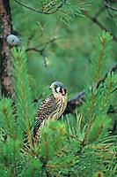 American Kestrel, Pine Barrens, New Jersey